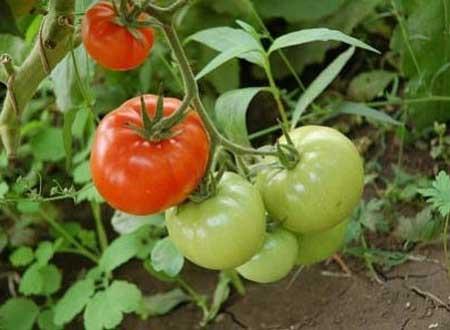 sozrevanie-tomatov