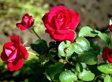 Как вырастить розы из букета