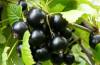 Правила обрезки черной смородины