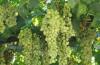 Особенности выращивания винограда