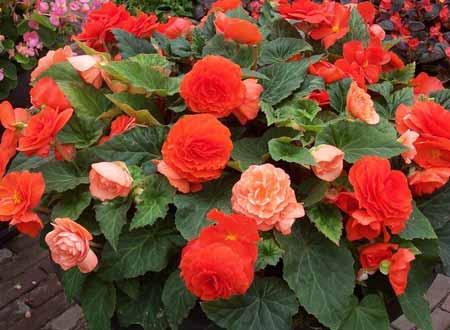posev-cvetov2