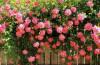 Роза плетистая: размножение, посадка и уход