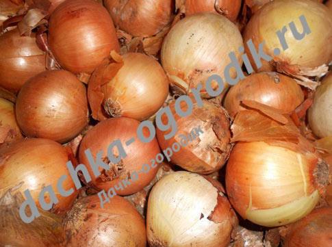 Лук репчатый брунсвик выращивание из семян 65