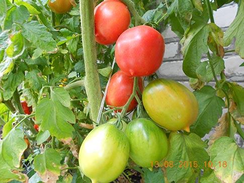 Как сделать так чтобы помидоры краснели на кусту 57