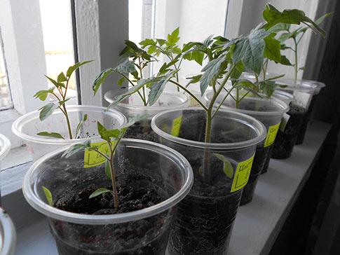 Пожелтели листья у рассады помидор: что делать
